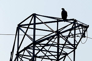 White tailed sea eagle (Haliaeetus albicilla) perched on electricity pylon, Stettin Lagoon, Oder delta, on border between Germany and Poland, August. - Wild  Wonders of Europe / Widstrand