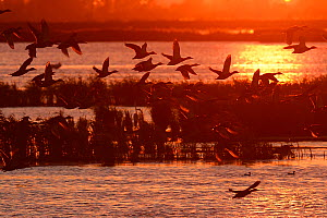 Ducks flying at sunset, Anklamer Stadtbruch, Stettiner Haff, Oder delta, Germany, August.  -  Wild  Wonders of Europe / Widstrand