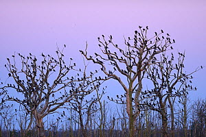 Great cormorant (Phalacrocorax carbo) roost, Anklamer Stadtbruch, Stettiner Haff, Oder delta, Germany, August.  -  Wild  Wonders of Europe / Widstrand