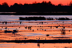 Waterfowl, including mute swan (Cygnus olor), silhouetted at sunset, Anklamer Stadtbruch, Stettiner Haff, Oder delta, Germany, August.  -  Wild  Wonders of Europe / Widstrand