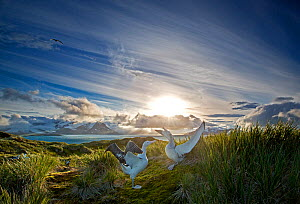 Wandering albatross (Diomedea exulans), engaged in mating display. South Georgia Island, Southern Ocean. - Chris & Monique Fallows