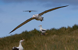 Wandering albatross (Diomedea exulans), in flight over South Georgia Island, Southern Ocean.  -  Chris & Monique Fallows