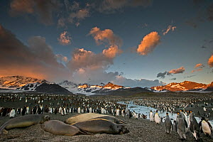 King penguin (Aptenodytes patagonicus) and Southern elephant seal (Mirounga leonina) colony at sunrise. Grytviken, South Georgia Island.  -  Chris & Monique Fallows