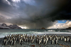 King penguin (Aptenodytes patagonicus) colony with storm approaching. Grytviken, South Georgia Island. - Chris & Monique Fallows