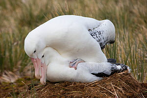 Wandering albatross (Diomedea exulans), engaged in mating. South Georgia Island, Southern Ocean.  -  Chris & Monique Fallows