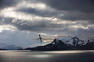 Wandering albatross (Diomedea exulans) flying off coast of South Georgia Island.  -  Chris & Monique Fallows
