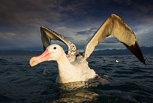 Wandering albatross (Diomedea exulans), feeding and cleaning.  -  Chris & Monique Fallows