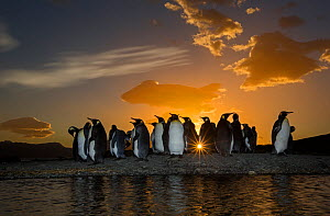 King penguin (Aptenodytes patagonicus) colony at sunrise. Grytviken, South Georgia Island.  -  Chris & Monique Fallows