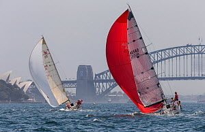 Sailboats with spinnakers out, racing in the Sydney Harbour, New South Wales, Australia, October 2012. All non-editorial uses must be cleared individually.  -  Onne  van der Wal