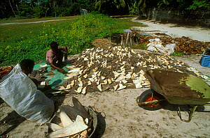 Shark fins drying in the sun, for export to the Asian market.  Himmendhoo, Ari atoll, Maldives, Indian OCean. - Pascal Kobeh