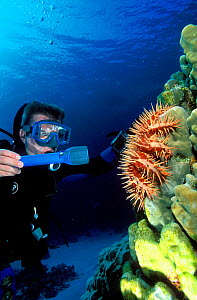 Diver in front of a Crown of Thorns starfish (Acanthaster planci) which is eating the polyps of a hard coral (Porites sp.) Egypt, Red Sea. - Pascal Kobeh