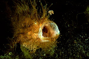 Striated frogfish or anglerfish (Antennarius striatus) with mouth wide open, Indonesia, Sulawesi Sea. - Pascal Kobeh
