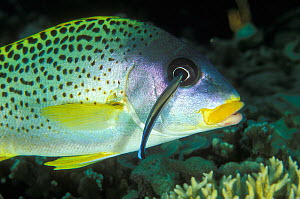 Blackspotted sweetlips (Plectorhinchus gaterinus) cleaned by a common cleanerfish (Labroides dimidiatus) Madagascar, Indian Ocean.  -  Pascal Kobeh