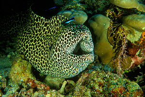Honeycomb moray (Gymnothorax favagineus) cleaned by Common cleanerfish (Labroides dimidiatus) Maldives. Indian Ocean.  -  Pascal Kobeh