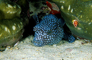 Starry pufferfish (Arothron meleagris) Maldives, Indian Ocean. - Pascal Kobeh