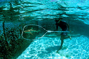 Researcher in tank with Black tip reef Sharks (Carcharhinus melanopterus) where he tags them before releasing them. Vabbinfaru Island. North Male Atoll, Maldives. Indian Ocean.  -  Pascal Kobeh