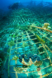 'Lotus', an artificial reef built in 2001 with a steel frame with a mild electrical current which encourages the growth of coral,  Ihuru Island, North Male Atoll, Maldives, Indian Ocean. Small reprodu... - Pascal Kobeh
