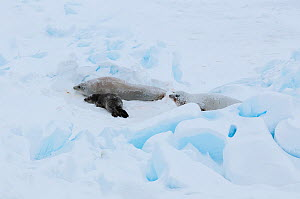Crabeater seal (Lobodon carcinophaga) female with pup and male, on pack ice, Antarctica, November.  -  Tui De Roy