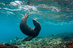 Galapagos sea lion (Zalophus wollebaeki) playing underwater, Champion Islet, near Floreana, Galapagos, Ecuador, May. - Tui De Roy