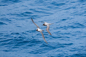 Light-mantled albatross (Phoebetria palpebrata) flying over ocean, Antarctica, November.  -  Tui De Roy