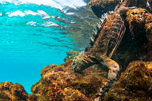 Marine iguana (Amblyrhynchus cristatus) diving to feed on algae, Sombrero Chino Islet, Santiago Island, Galapagos, Ecuador, May. - Tui De Roy