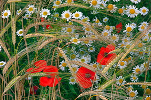 Field poppies (Papaver rhoeas) and Corn Chamomile (Anthemis arvensis) growing in organic Barley (Hordeum vulgare) crop, Norfolk, England, UK. July.  -  Ernie  Janes
