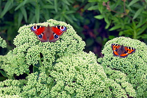 Peacock butterfly (Inachis io) left, and Small Tortoishell (Aglais urticae) resting on ice plant. Norfolk, England, UK. July. - Ernie  Janes