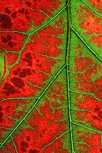 RF- Close up of Leaves of Red Oak (Quercus rubra) in autumn. October. (This image may be licensed either as rights managed or royalty free.)  -  Ernie  Janes