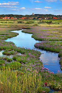 Sea lavender (Limonium vulgare) growing in saltmarsh, with Blakeney Village in the background, Norfolk, England, UK, July.  -  Ernie  Janes