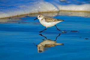 Sanderling (Calidris alba) running along the tide-line, reflected in the mud, Norfolk, England, UK. December. - Ernie  Janes