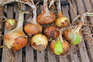 Home grown onions drying out in greenhouse, Norfolk, England, UK. July.  -  Ernie  Janes