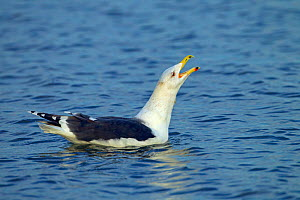 Lesser black-backed gull (Larus fuscus) calling from the sea, Norfolk, England, UK. December. - Ernie  Janes