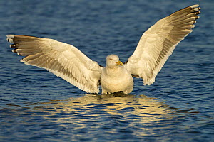 Lesser black-backed gull (Larus fuscus) landing on sea with wings spread, Norfolk, England, UK. December. - Ernie  Janes
