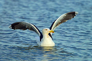 Lesser black-backed gull (Larus fuscus) landing on sea, with wings spread, Norfolk, England, UK. December. - Ernie  Janes