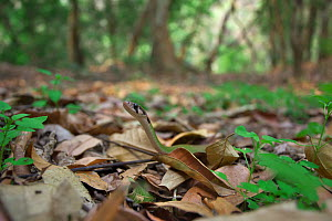 Black-striped keelback (Rhabdophis nigrocinctus) moving among leaf litter of forest floor,  Xishuangbanna National Nature Reserve, Yunnan Province, China. March. - Dong Lei