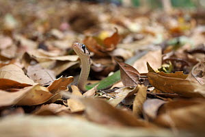 Black-striped keelback snake (Rhabdophis nigrocinctus) moving among leaf litter of forest floor,  Xishuangbanna National Nature Reserve, Yunnan Province, China. March. - Dong Lei