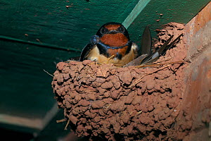 Barn swallow (Hirundo rustica gutturalis) in nest under eaves of building, Xishuangbanna National Nature Reserve, Yunnan Province, China. - Dong Lei