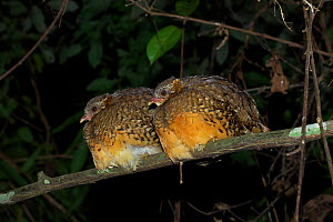 Scaly-breasted partridge (Arborophila chloropus chloropus) two perched together on branch at night, Xishuangbanna National Nature Reserve, Yunnan Province, China. March. - Dong Lei