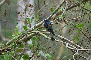 Drongo cuckoo (Surniculus dicruroides dicruroides) perched on branch, Xishuangbanna National Nature Reserve, Yunnan Province, China. March. - Dong Lei