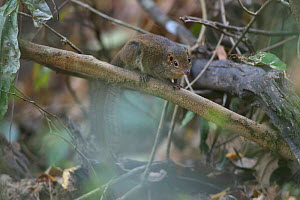 Northern treeshrew (Tupaia belangeri) on branch, Xishuangbanna National Nature Reserve, Yunnan Province, China. March. - Dong Lei