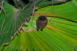 Greater short-nosed fruit bat (Cynopterus sphinx sphinx) hanging from palm leaf, Xishuangbanna National Nature Reserve, Yunnan Province, China. March. - Dong Lei
