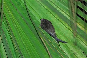 Asian palm swift (Cypsiurus balasiensis infumatus) on palm leaf, Xishuangbanna National Nature Reserve, Yunnan Province, China. March. - Dong Lei