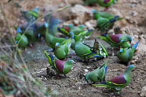 Pin-tailed green pigeon (Treron curvirostra) and Thick-billed green pigeon (Treron curvirostra) group foraging in mud. Xishuangbanna National Nature Reserve, Yunnan Province, China. March. - Dong Lei