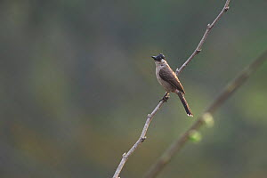 Sooty-headed Bulbul (Pycnonotus aurigaster) perched on bare branch. Xishuangbanna National Nature Reserve, Yunnan Province, China. March. - Dong Lei