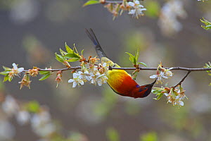 Mrs Gould's sunbird (Aethopyga gouldiae dabryii) male hanging upside down and feeding from Chinese wild peach (Prunus davidiana) male blossom, Kawakarpo Mountain, Meri Snow Mountain National Park, Yun...  -  Dong Lei