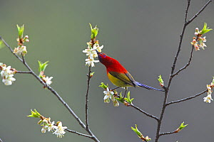 Mrs Gould's sunbird (Aethopyga gouldiae dabryii) male feeding from Chinese wild peach flowers (Prunus davidiana) Kawakarpo Mountain, Meri Snow Mountain National Park, Yunnan Province, China. May.  -  Dong Lei