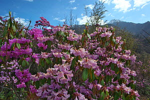 Rhododendron flowers (Rhododendron sp) with mountain landscape in the background, Lijiang Laojunshan National Park, Yunnan Province, China. April.  -  Dong Lei