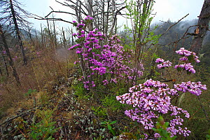 Rhododendrons (Rhododendron sp) in flower on mountainside, Lijiang Laojunshan National Park, Yunnan Province, China. April.  -  Dong Lei