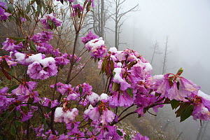 Rhododendron flowers (Rhododendron sp) covered in snow in mist, Lijiang Laojunshan National Park, Yunnan Province, China. April.  -  Dong Lei