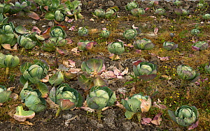 Cabbages growing in organic garden of Michelin star restaurant 'La Chassagnette', Sambuc, Camargue, France, April.  -  Jean E. Roche